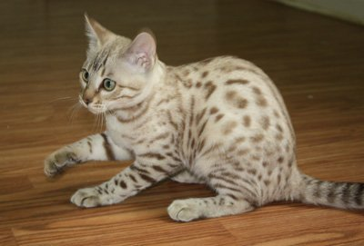 snow bengal kitten playing
