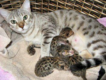 baby bengal kittens image information