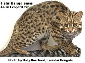 Asian Leopard Cat Photo by Holly Borchard, Trendar Bengals