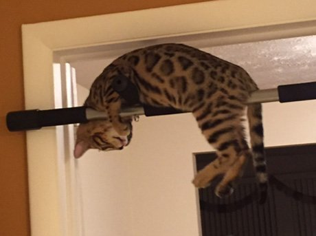 bengal cat causing mischeif and getting into high places
