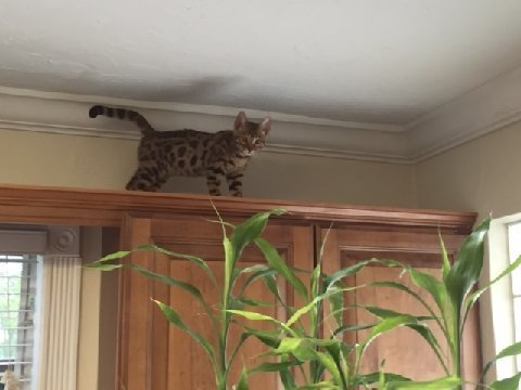 bengal cat on top of cupboards