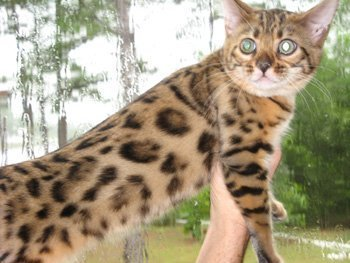 bengal cat outside