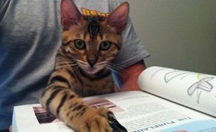 bengal cat helping read