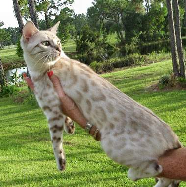 rosettes on seal lynx point snow leopard bengal cat in Northwest Florida, Southwest Florida, Northeast Florida, Southeast Florida, Central Florida