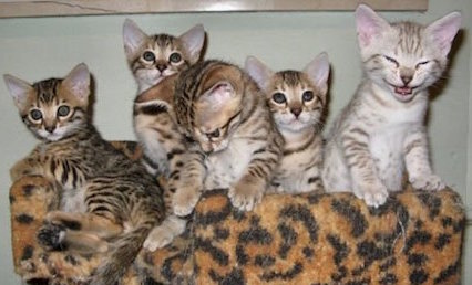 bengal kittens playing on a cat tree
