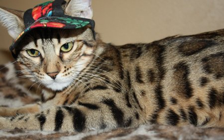 Bengal cat wearing a hat