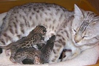 snow bengal mom with kittens nursing