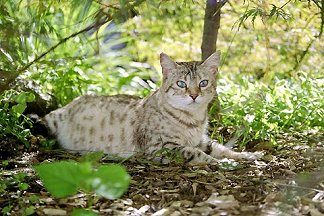 snow bengal sitting outside