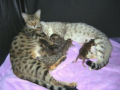 family picture mom and dad bengal with bengal kittens
