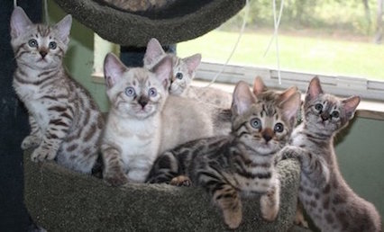 brown rosetted bengal kittens and snow bengal kittens playing