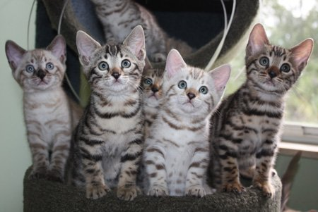 bengal kittens posing for picture