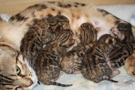bengal kittens for sale, bengals for sale, bengal cats, bengal cats for sale, bengal cats florida, bengal cats for sale florida, bengal kittens florida, bengal kittens for sale florida, snow bengals, charcoal bengals, charcoal snow bengals, bengals, bengal kittens