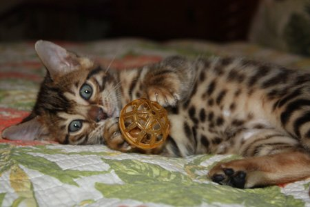 bengal kitten playful with toy