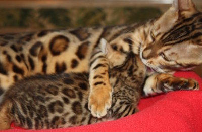 mommy bengal cuddling with baby kitten bengal