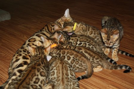 bengal kittens nursing on bengal cat mom
