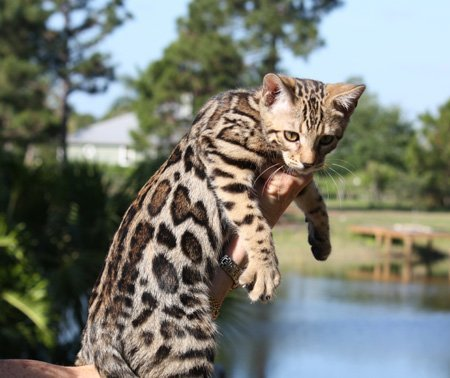 Baby Bengal Cat For Sale