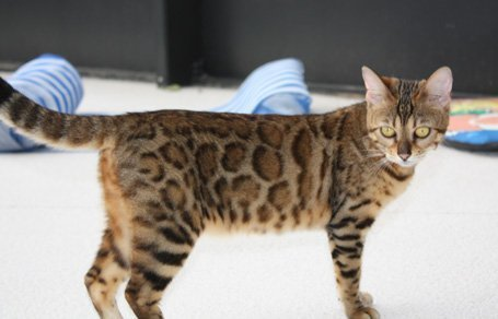 Bengal kittens, ZawieCo Bengal cat breeders, Bengal kittens for sale in Florida, Bengal cats for sale Florida, Bengal cats Florida, bengal kittens Florida, Snow bengals, Charcoal bengals, Charcoal snow bengals