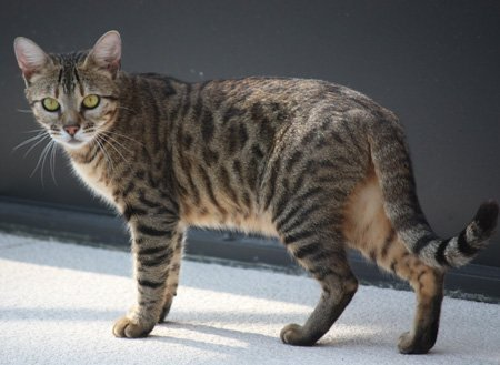 wild looking bengal cat