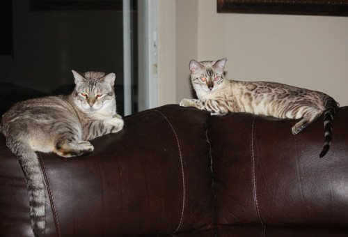 two snow bengals lounging on the couch