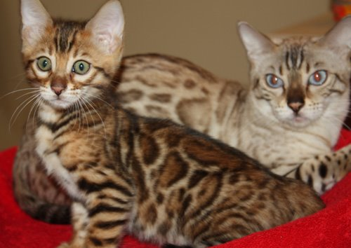 snow bengal with bengal kitten