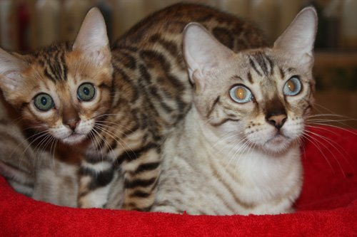 SLP snow bengal with brown rosetted kitten