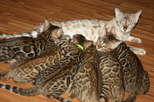 SLP snow bengal with kittens