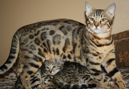 Zawieco bengal cats, retired queen