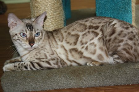 SLP snow bengal with blue eyes