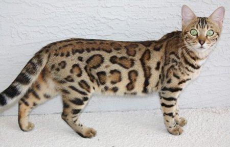 Persian Cat Rescue Jacksonville Fl